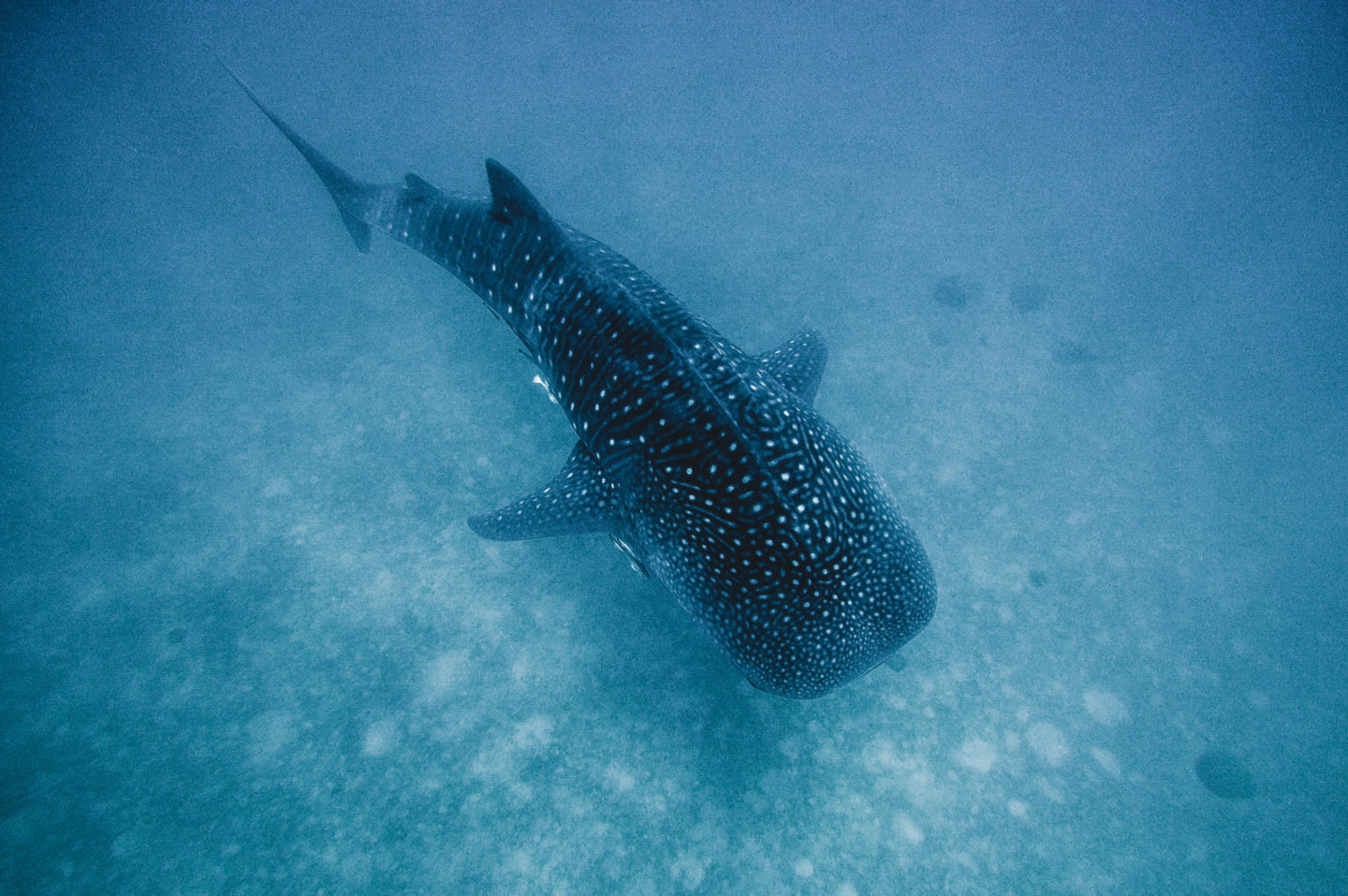 ethical whale shark tour philippines